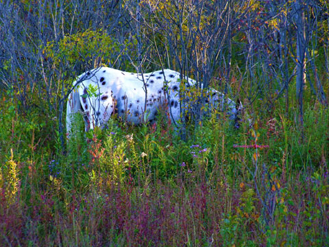 white pinto horse grazing in woods