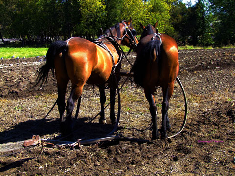 work horses in field